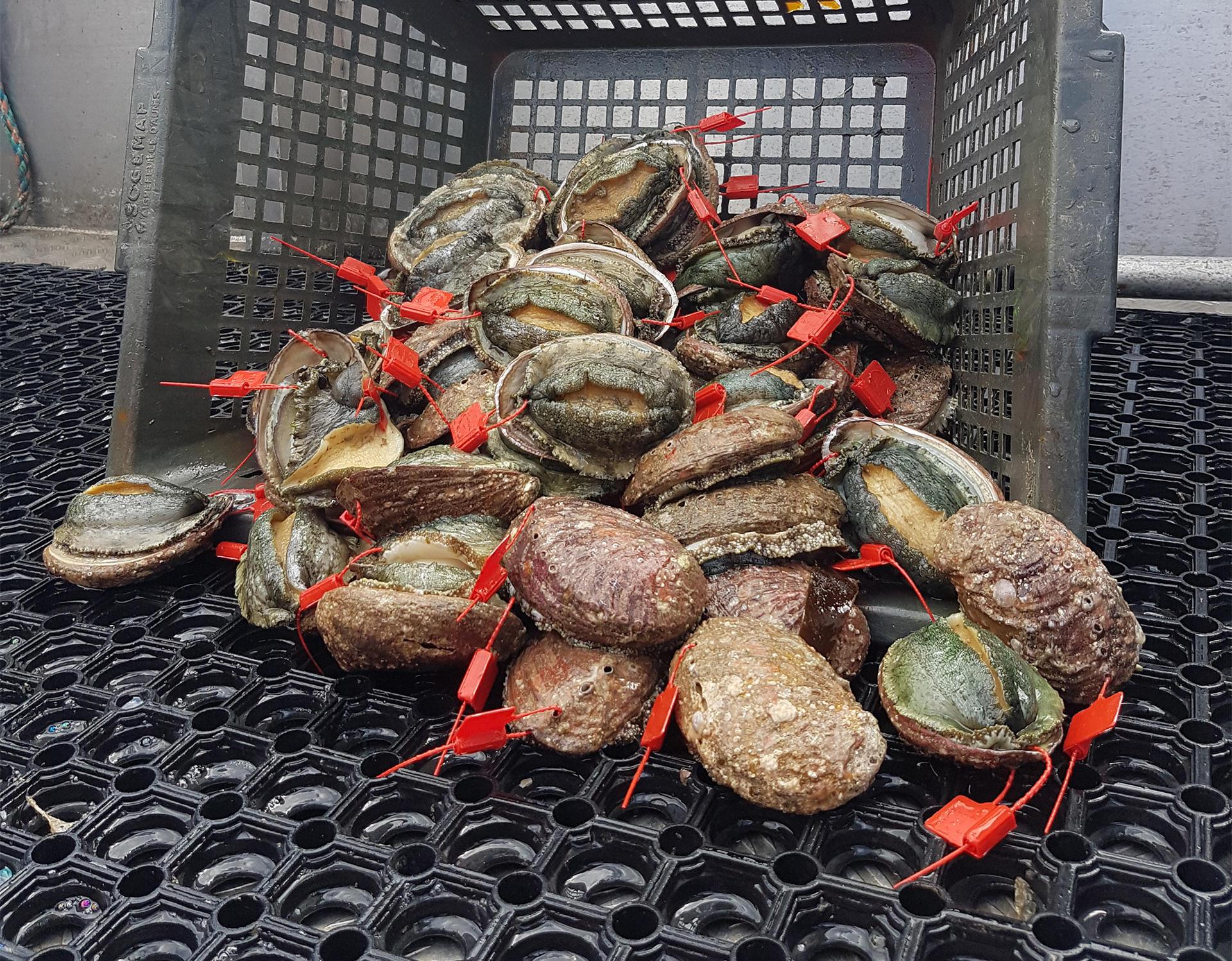 Ormeaux pêchés en Bretagne au large de Perros-Guirec